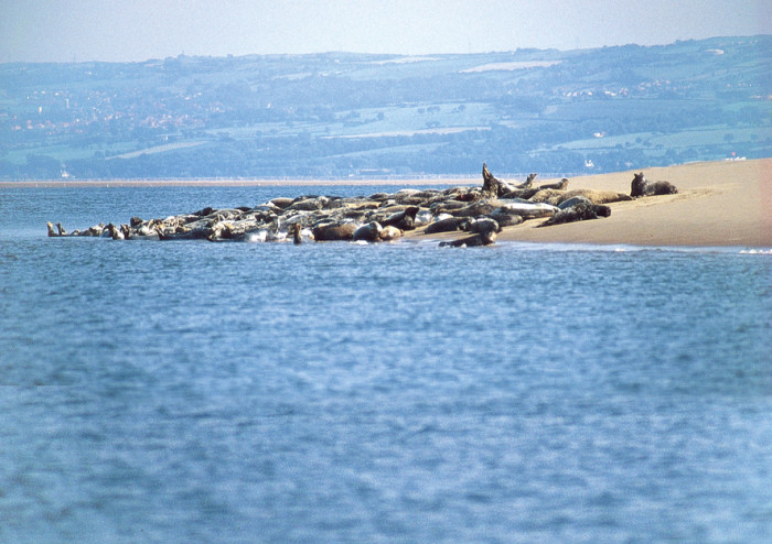 Seal on Hilbre
