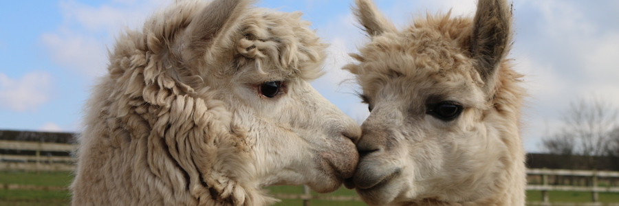 Kissing alpacas featured image
