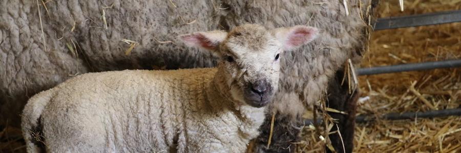 Newborn lamb at Church Farm